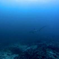 My incredible dive with thresher sharks in Malapascua